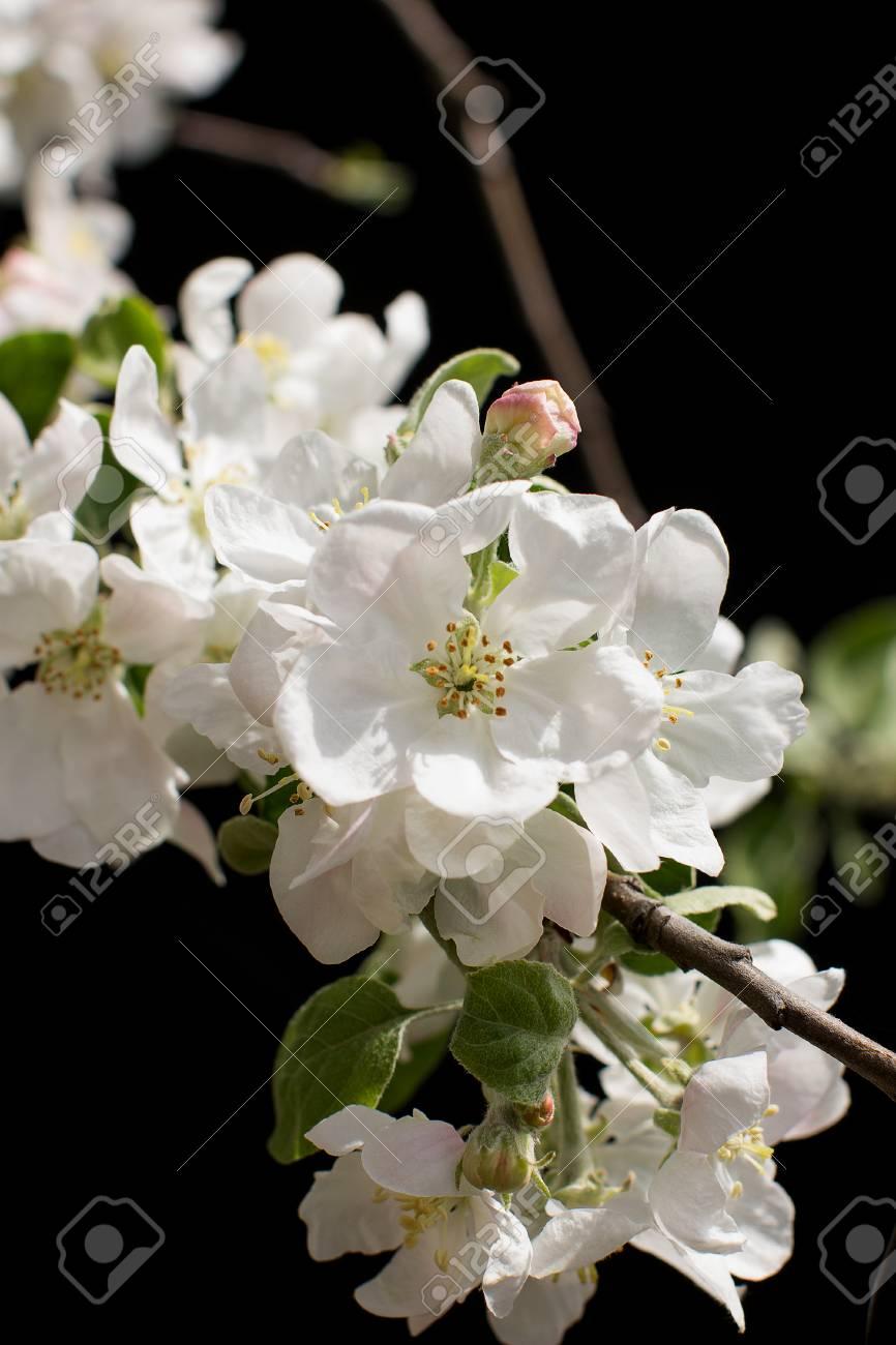 Fiori Bianchi In Primavera.Immagini Stock Primavera Fiori Bianchi Su Sfondo Nero