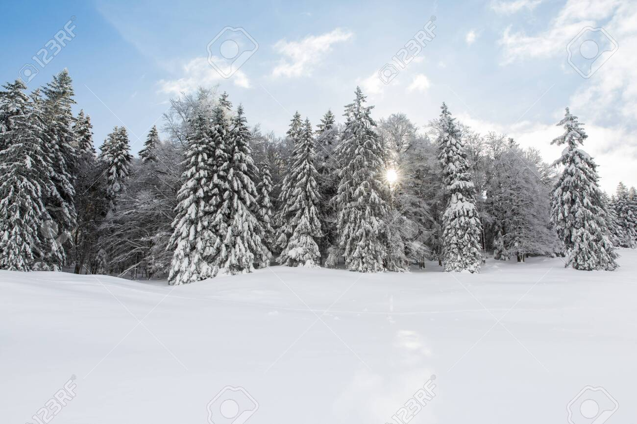 Snowed in Pine Trees Forest on a Sunny Winter Day - 145815151