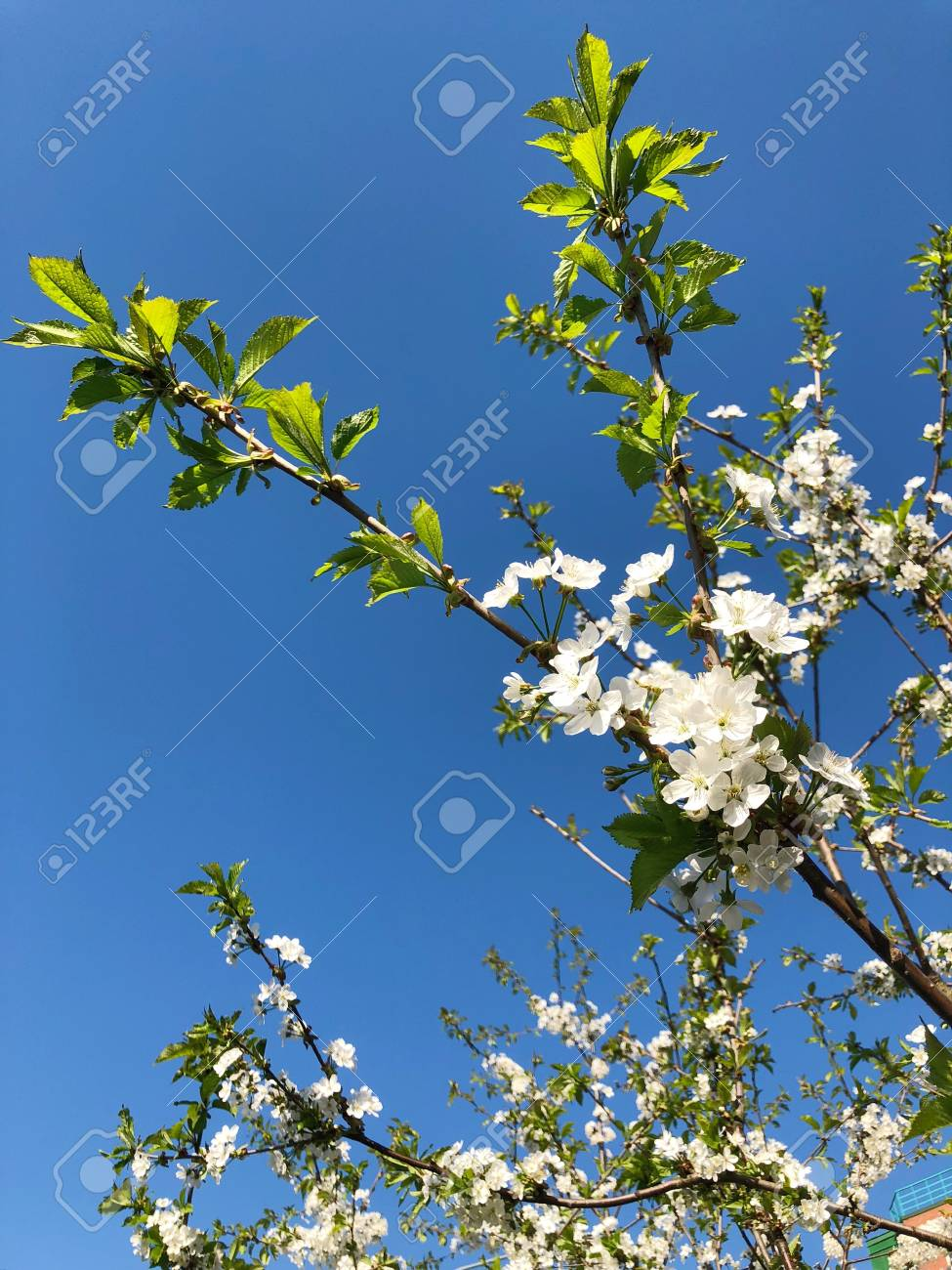 Beautiful summer tree with small white flowers stock photo picture beautiful summer tree with small white flowers stock photo 101761053 mightylinksfo