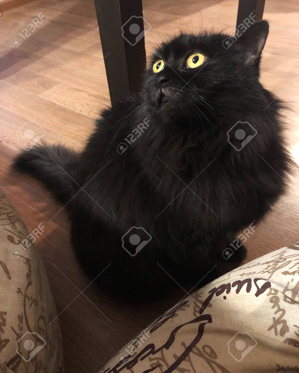 Funny Black Cat On The Floor View Stock Photo Picture And Royalty Free Image Image 114416535