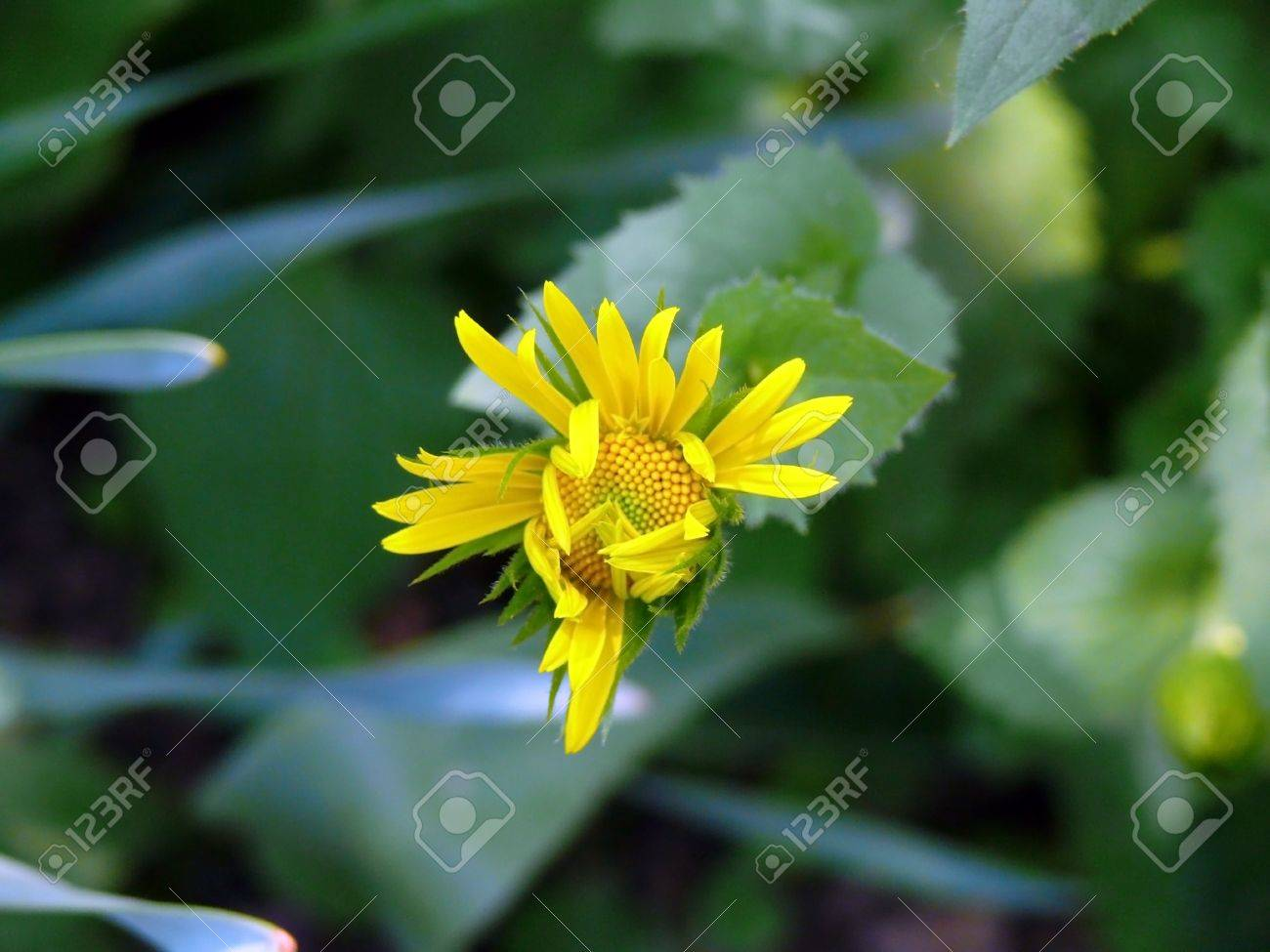 Bloom first yellow camomile bud at springtime Stock Photo - 7113059