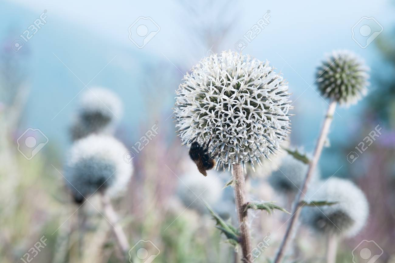 close up of a bee eats a thistle Stock Photo - 15161170