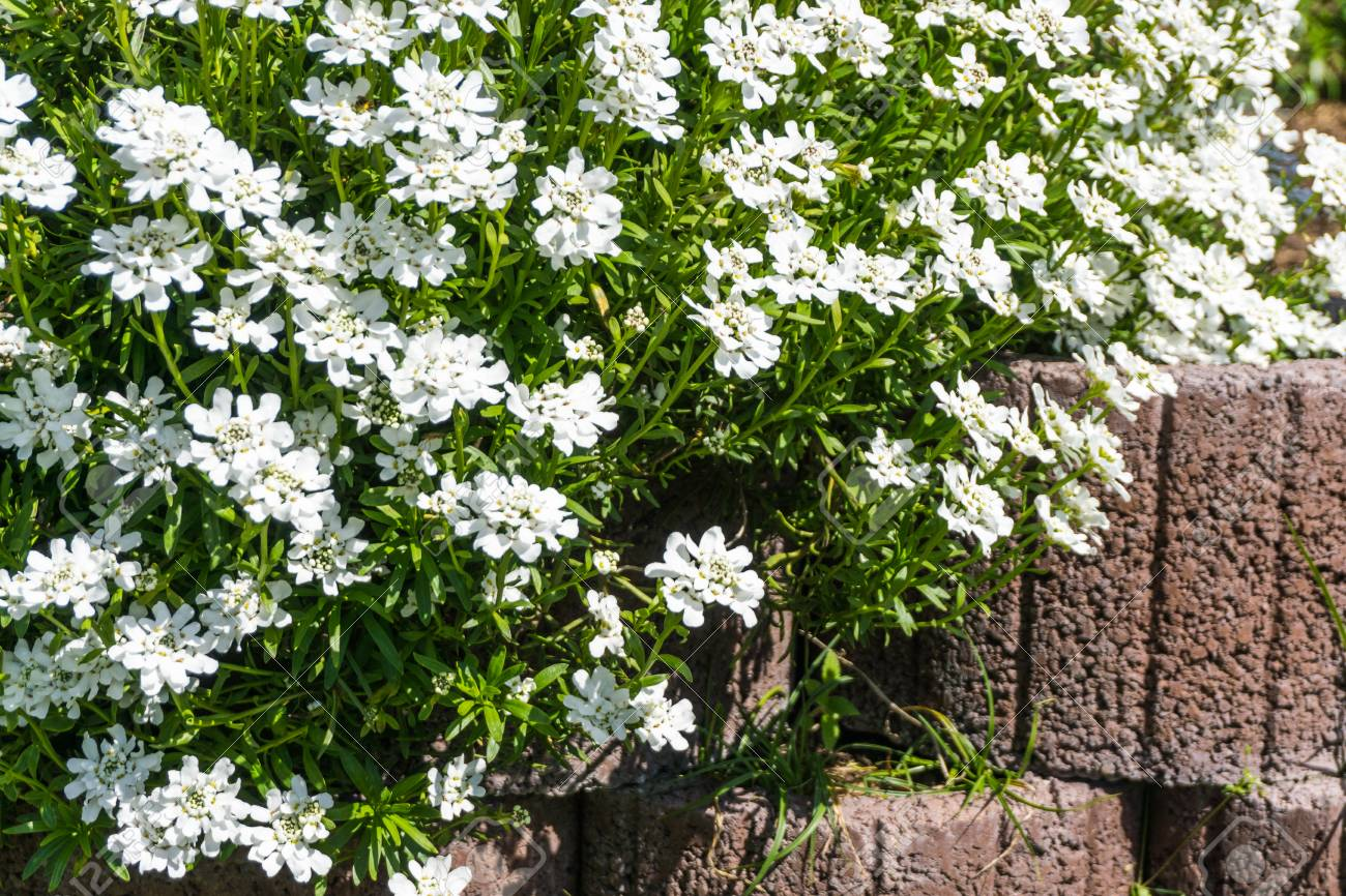 Groundcover With White Flowers Over A Stone Wall Stock Photo