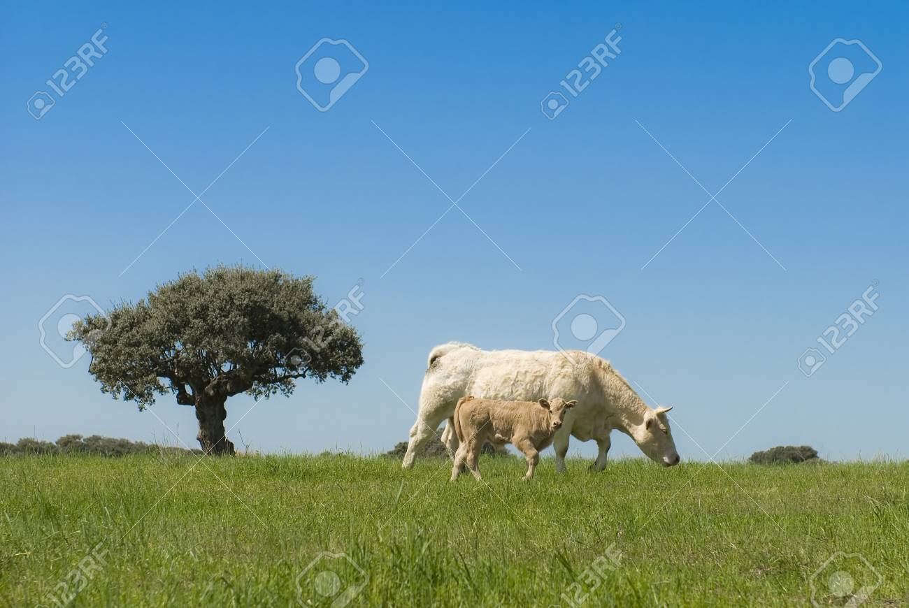 A cow and her calf in a paradisian landscape. Stock Photo - 9575305