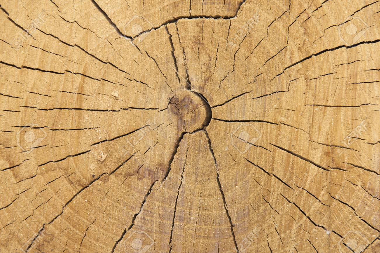 Surface of a cut tree showing its texture. Stock Photo - 14544701