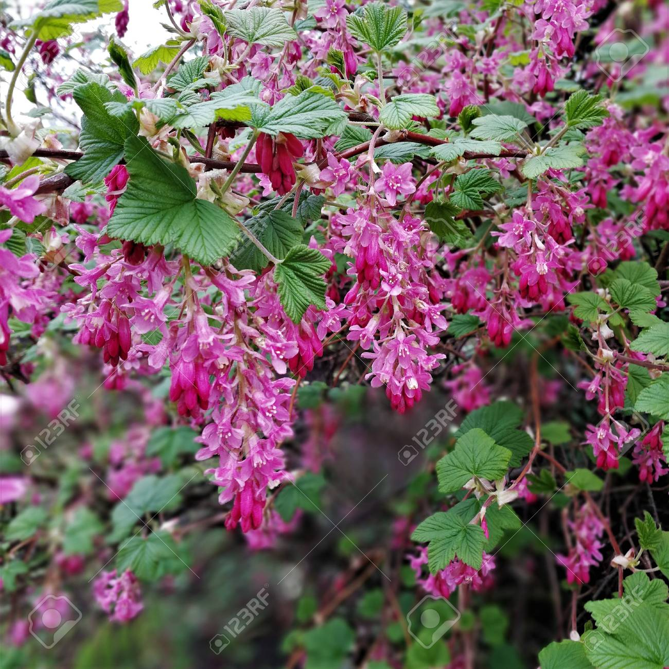 Pink Flowers On A Flowering Redcurrent Bush In Spring Stock Photo