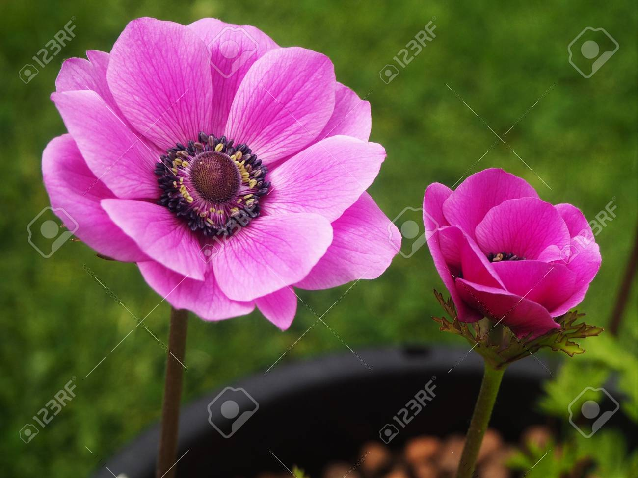 Beautiful pink anemone flower and bud growing in a pot in a garden beautiful pink anemone flower and bud growing in a pot in a garden stock photo mightylinksfo