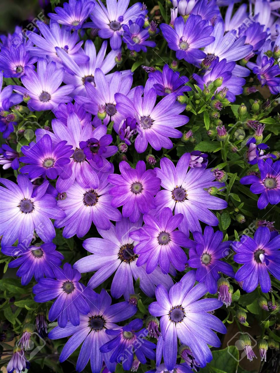Bright purple osteospermum african daisy flowers stock photo bright purple osteospermum african daisy flowers stock photo 104184364 izmirmasajfo