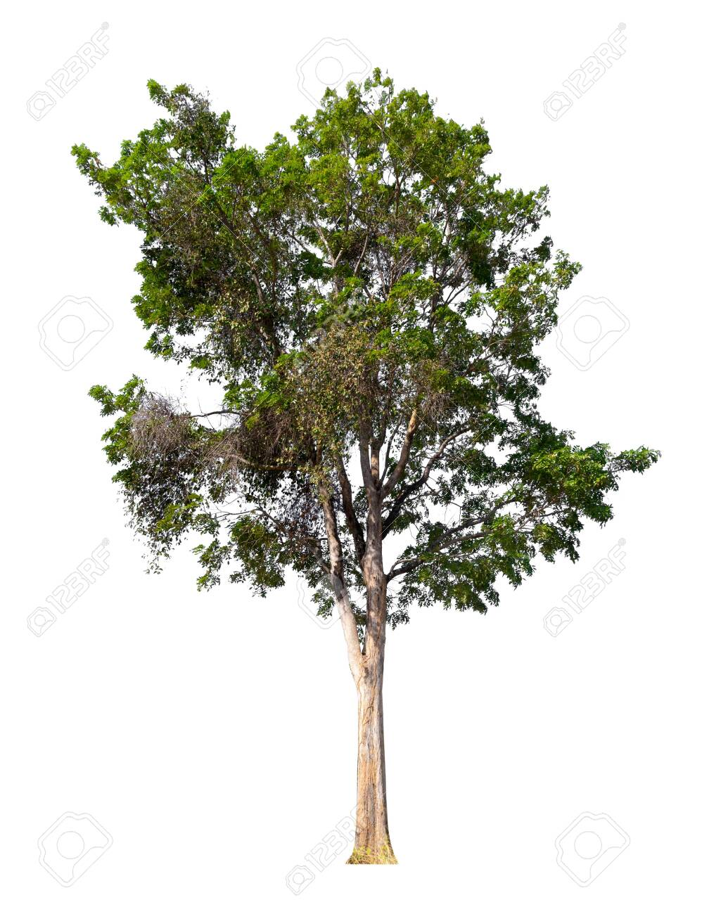 isolated tree on white background with clipping path - 140933574
