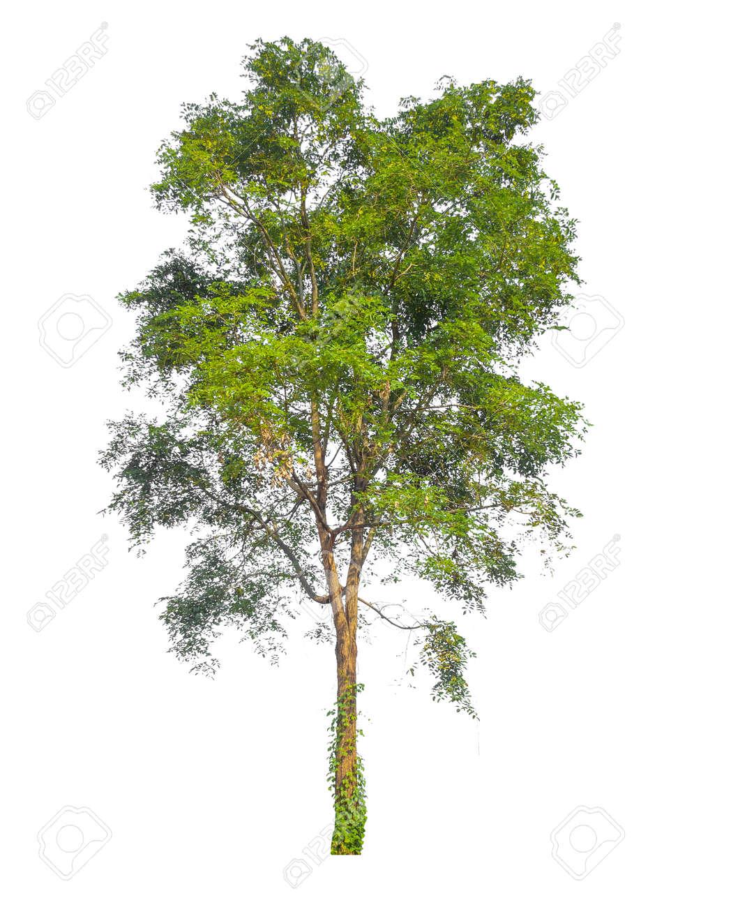 Isolated tree on white background - 169359289