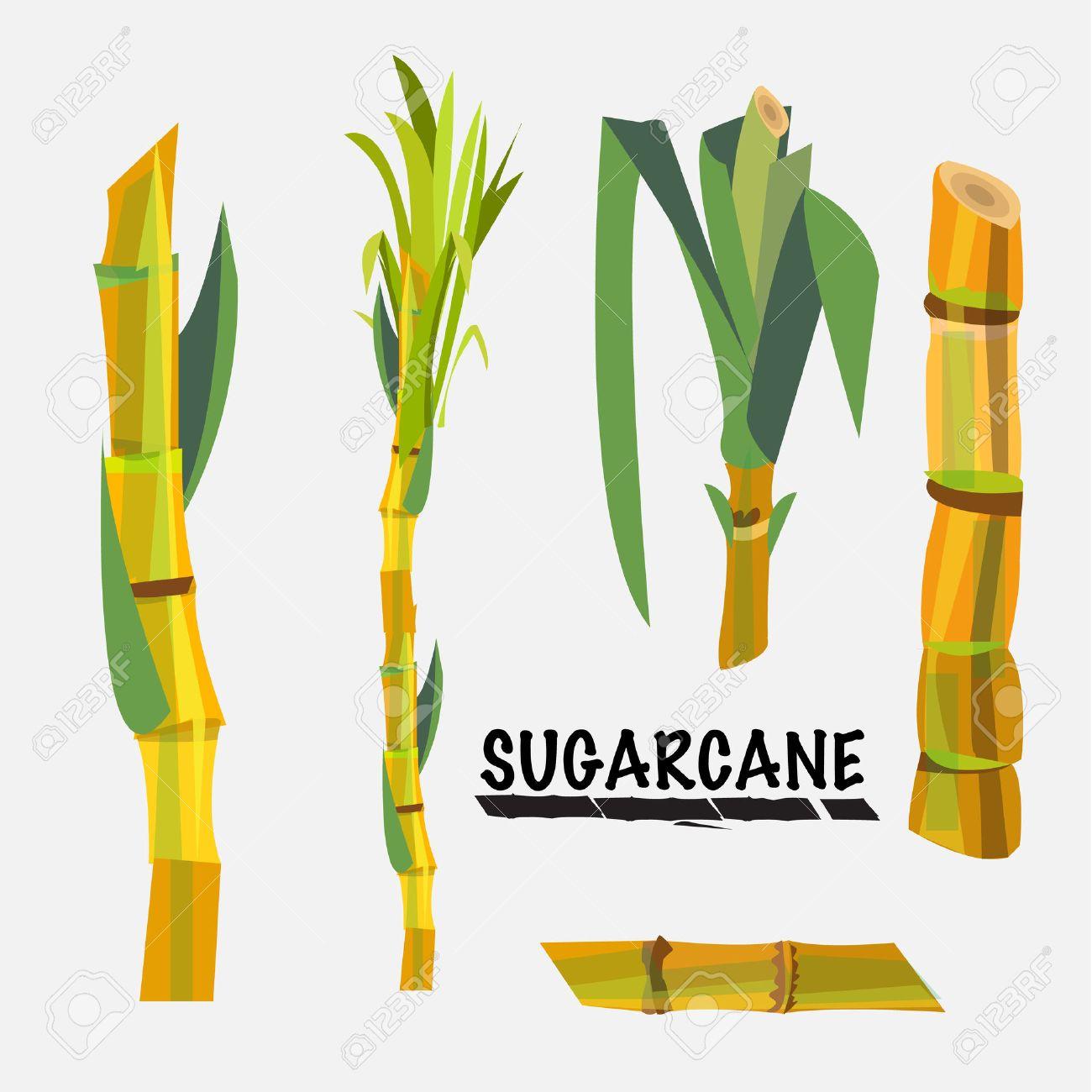 sugarcane - vector illustration - 45203426