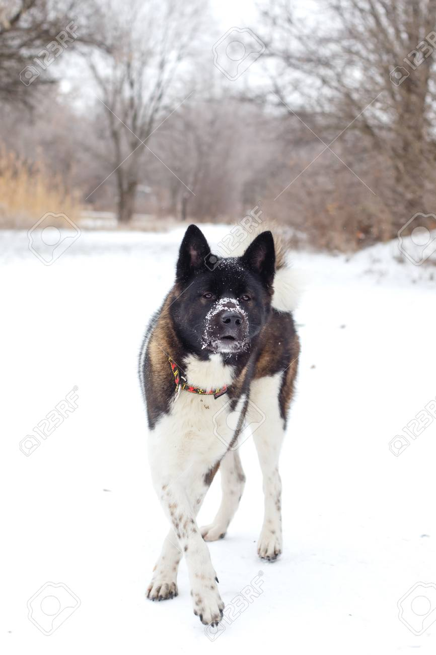 Akita Dog Breed With A Black Muzzle Winter In The Park Stock Photo Picture And Royalty Free Image Image 34370659