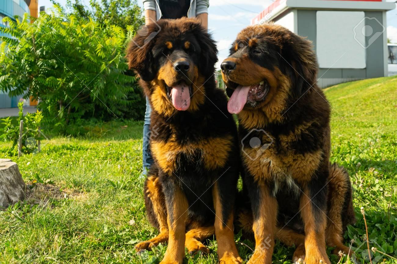 A pair of Tibetan Mastiff puppies on a walk on the green grass. Summer evening. - 107175052