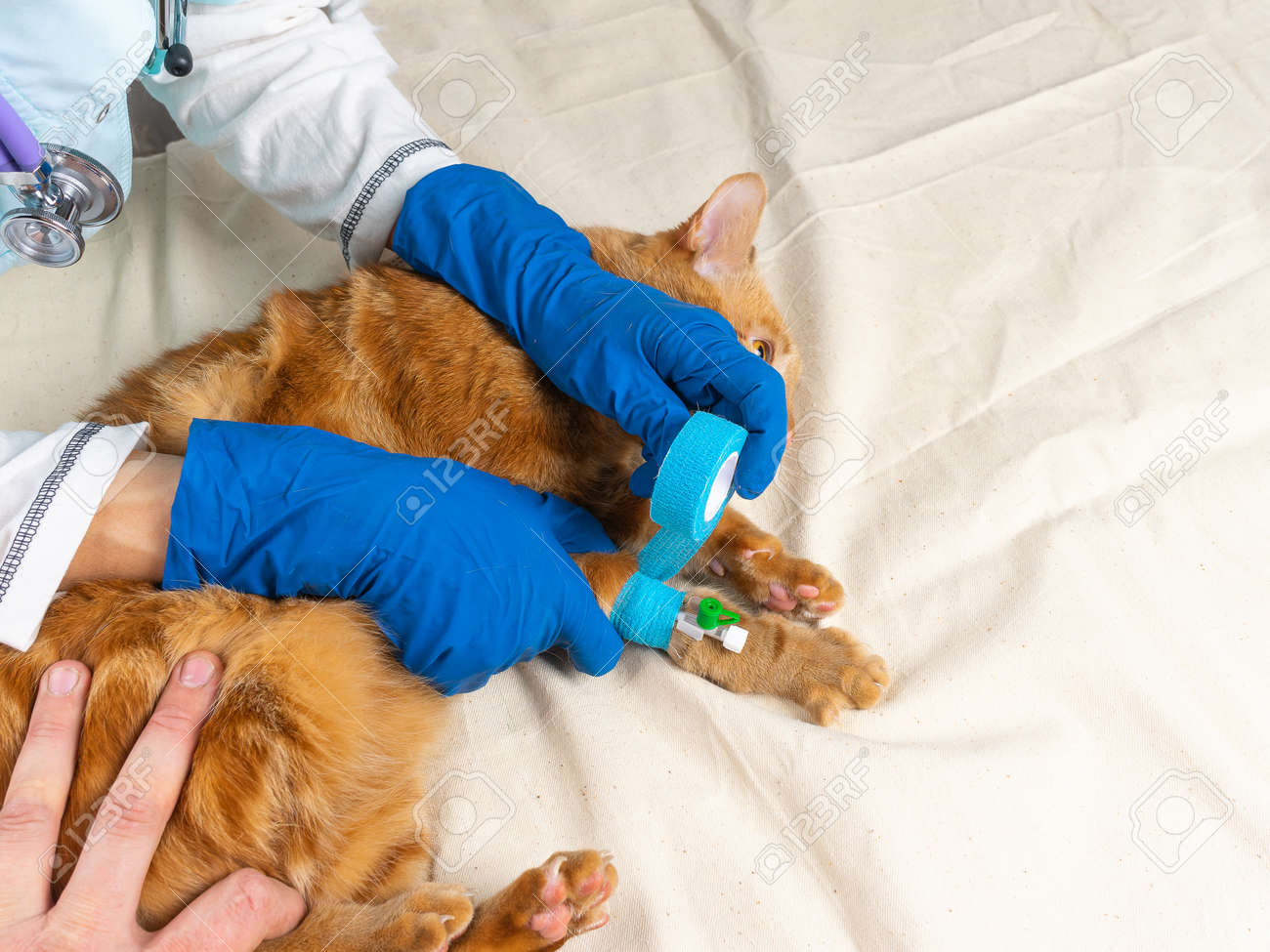 A bright red cat was put on a catheter. - 167533143