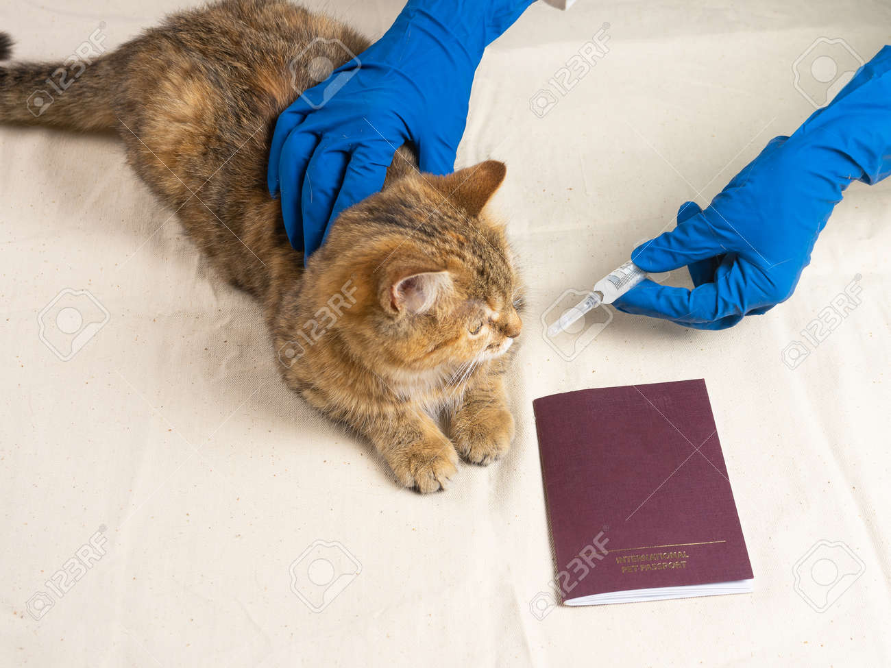 The cat is on the vets table for the annual vaccination. The concept of annual vaccination of pets. - 167171284