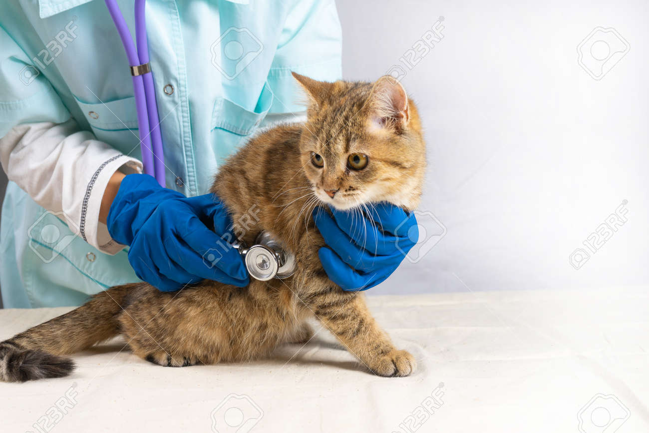 A grey cat on a white table at the vet. Listening to the heart with a stethoscope - 170234659