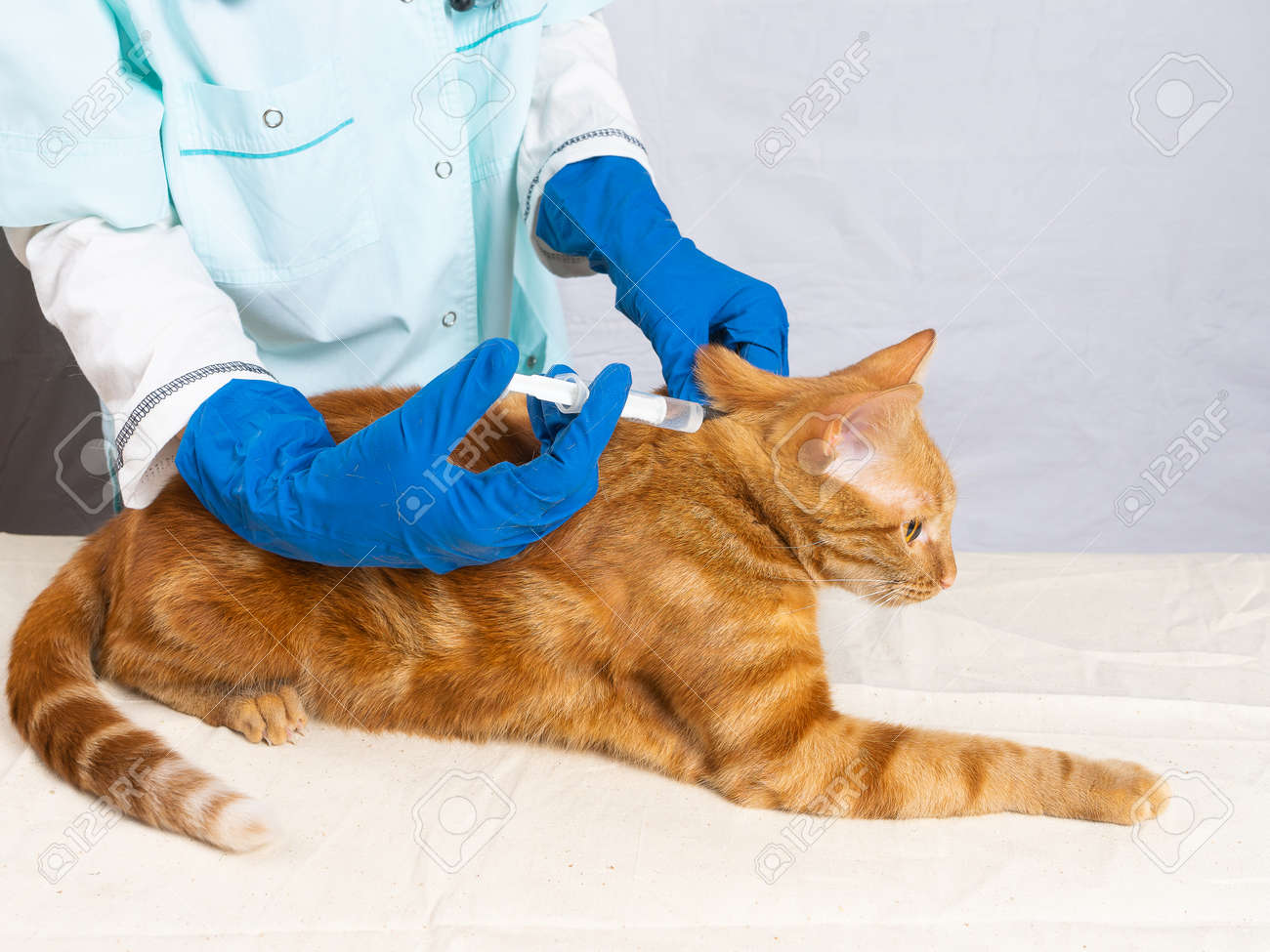 The veterinarian gives an injection to a bright red cat. Treatment of pets. - 171996149
