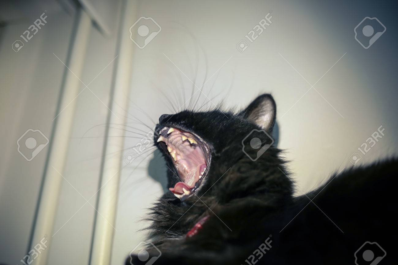 Black Cat Yawning And Showing Sharp Teeth Stock Photo Picture And