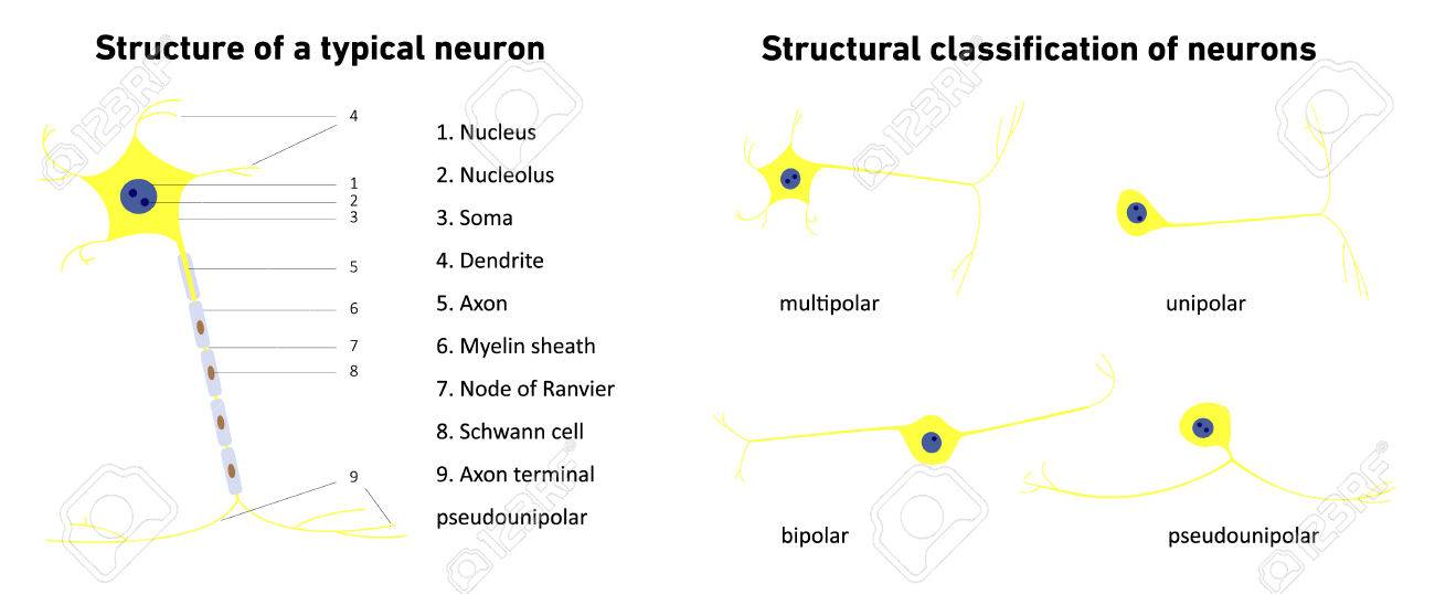 Structural classification of neurons neuronal types neuron structural classification of neurons neuronal types neuron structure of a typical neuron ccuart Images