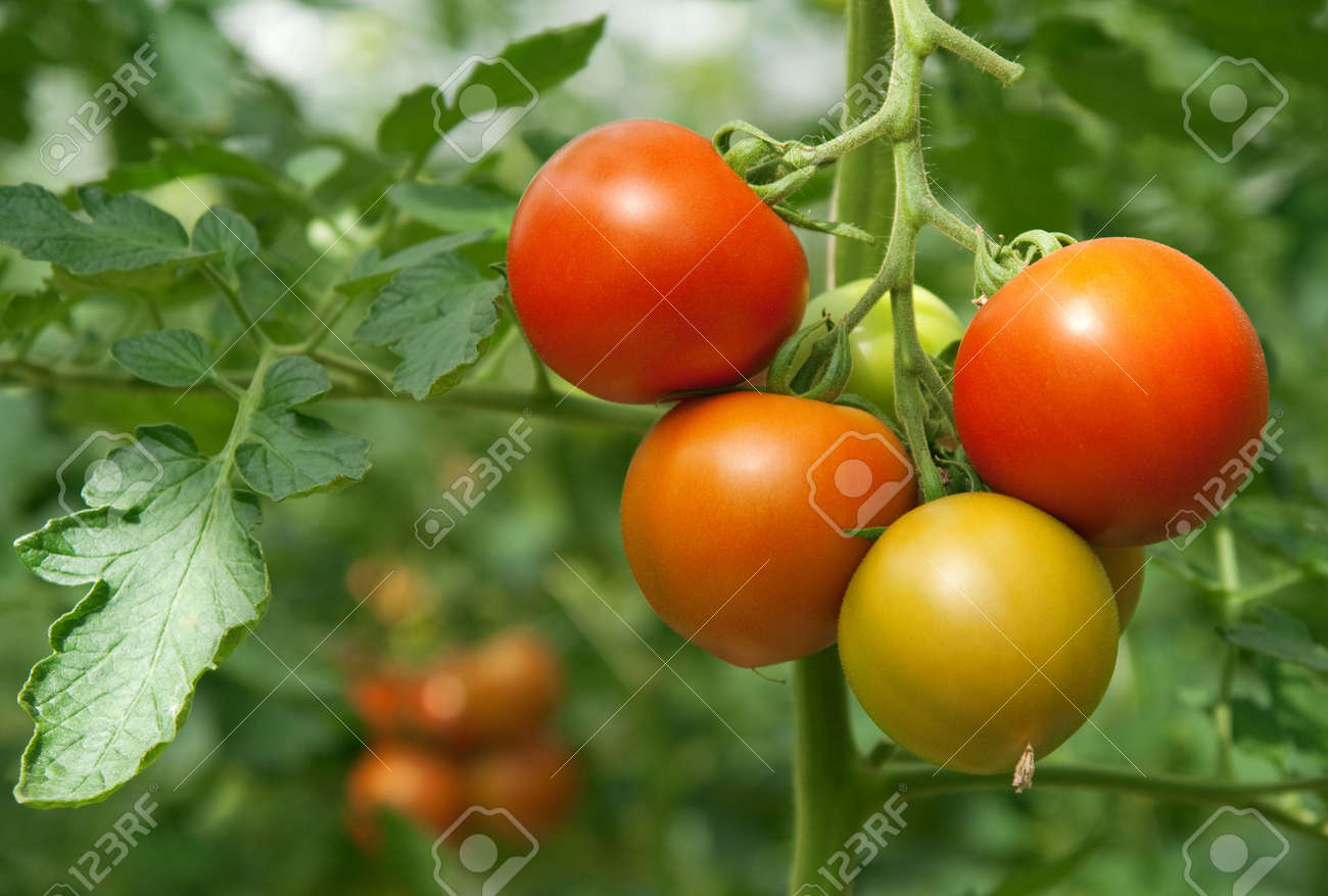 Juicy and fresh tomatoes growing in a greenhouse. Stock Photo - 5700698