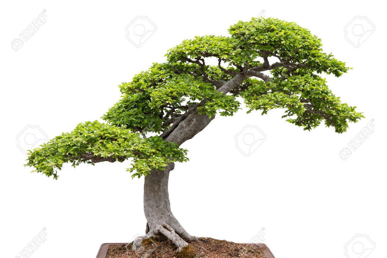 chinese elm green bonsai tree isolated on white background stock photo 12844299 chinese elm bonsai tree