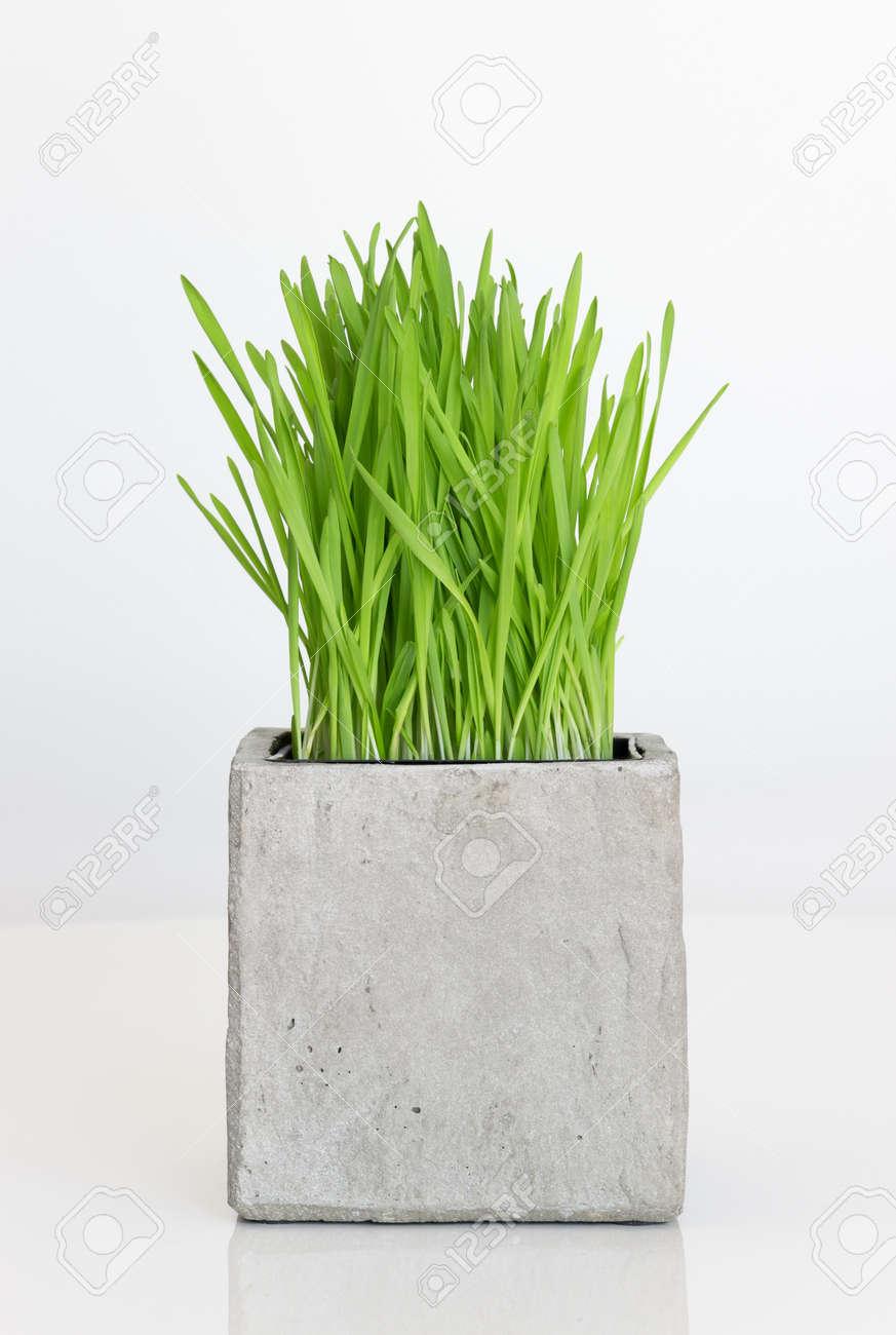 frische grüne weizengras wachsen in beton topf lizenzfreie fotos