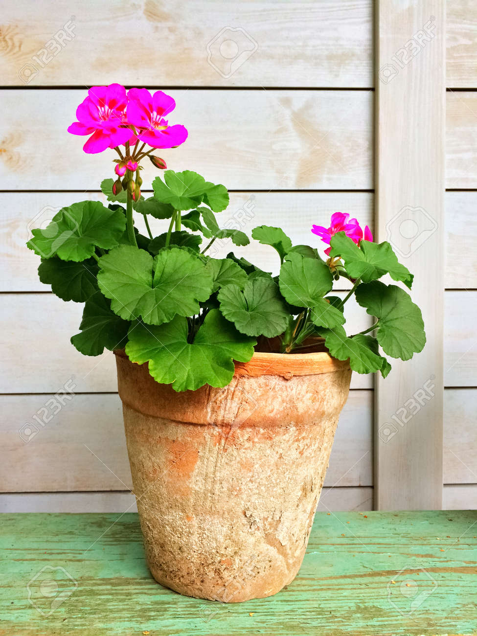 Blooming geranium in old clay pot, garden decoration.