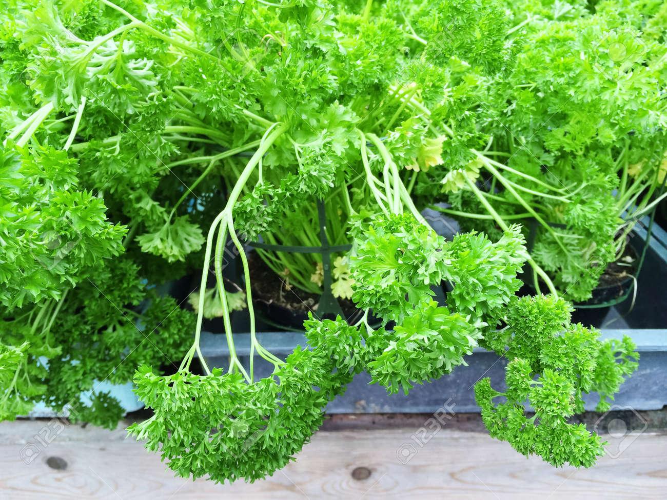 Close Up De Persil Frise Vert Culture En Pot Banque D Images Et