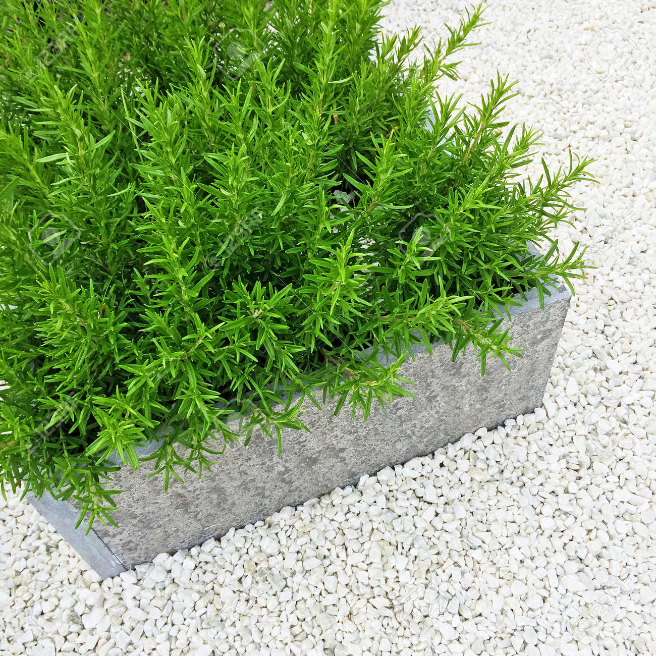 Rosemary Plant On White Stone Background. Contemporary Garden ...
