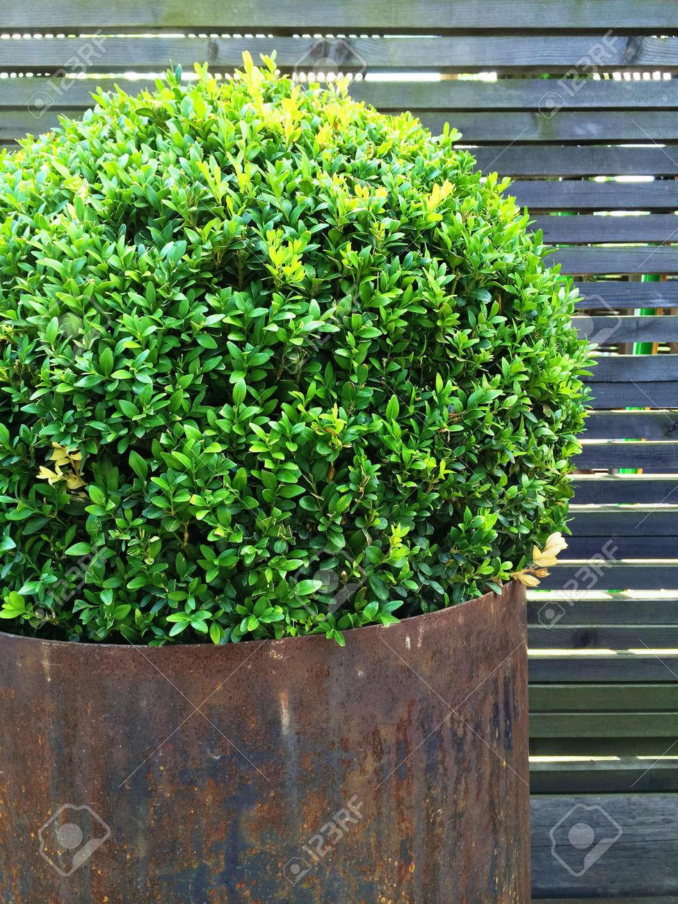 Arbre de myrtille taillée dans un pot de fer rouillé. Décoration de jardin  de style vintage.