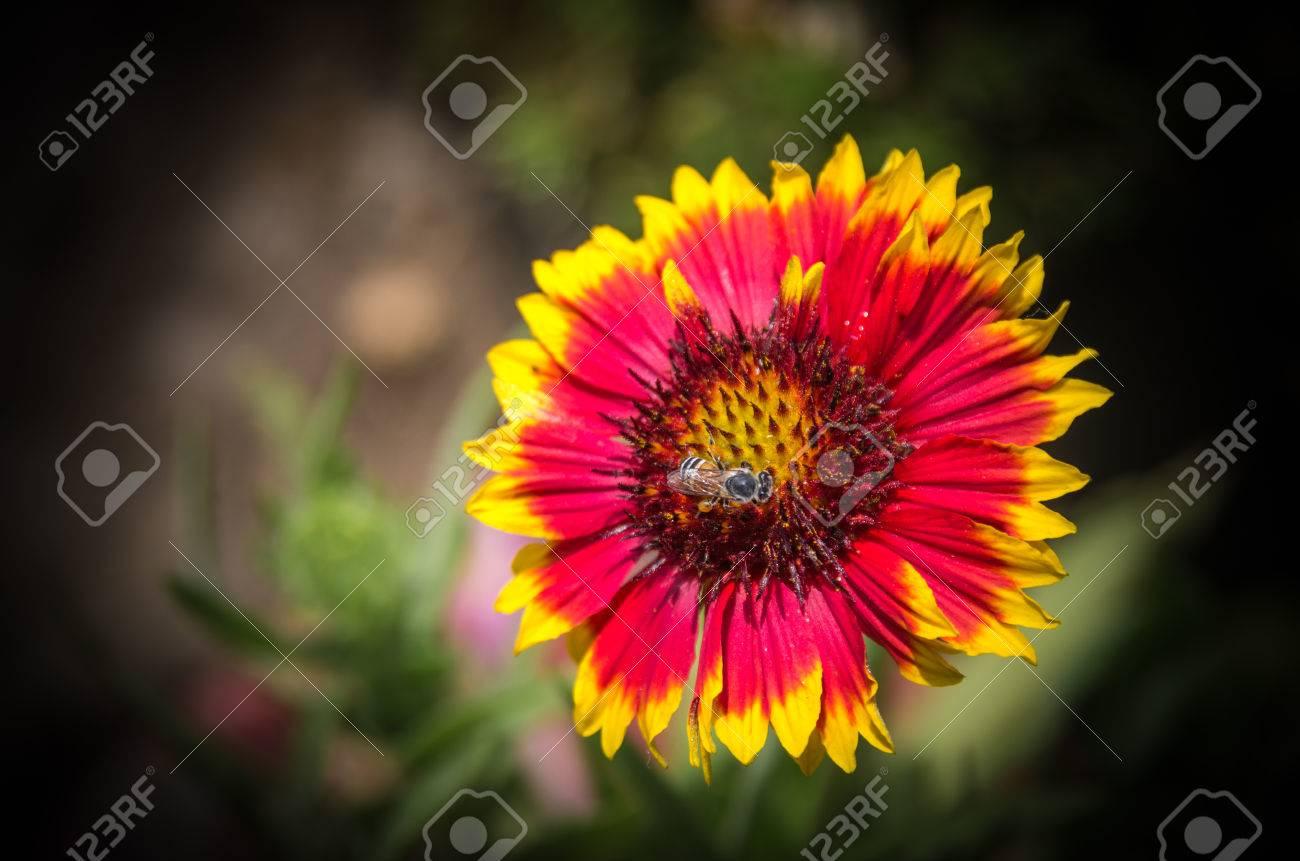 Una Flor De La Margarita Con Pétalos De Color Rojo Con Punta De Color Amarillo Fotos Retratos Imágenes Y Fotografía De Archivo Libres De Derecho Image 27538969