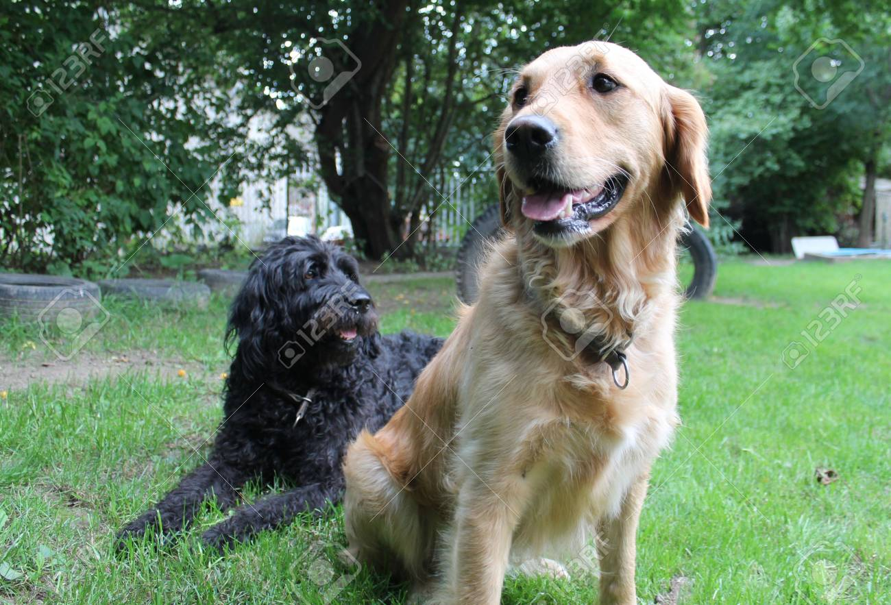 Golden Retriever And Labradoodle In The Garden Stock Photo Picture