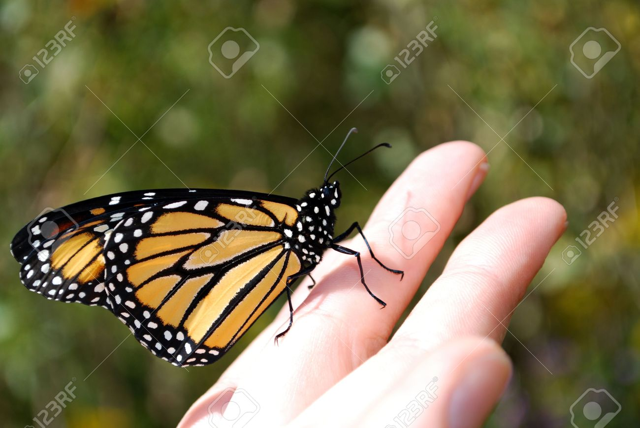 f363d9856 Monarch Butterfly On Hand, Ready To Fly Away Stock Photo, Picture ...