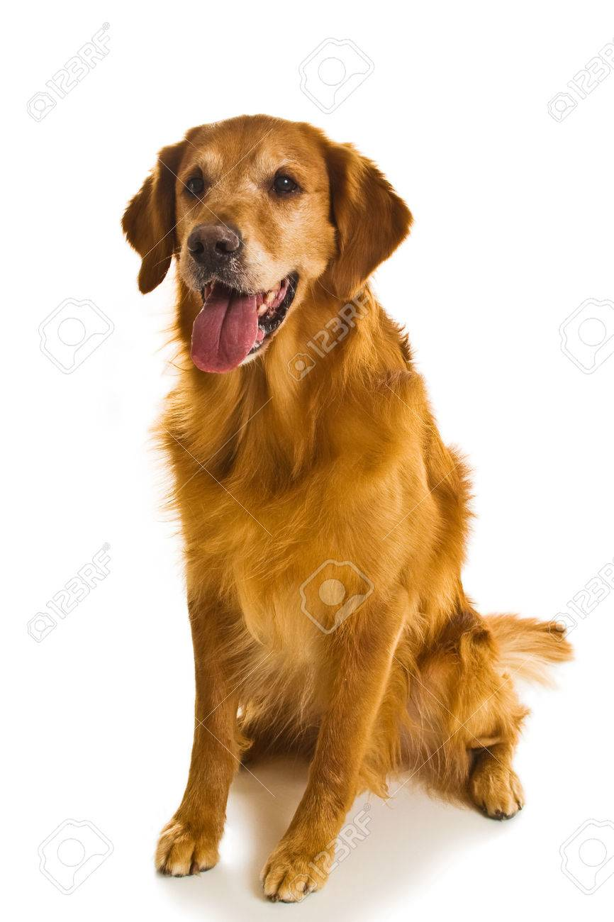 Beautiful Golden Retriever Dogs In A Variety Of Poses Stock Photo Picture And Royalty Free Image Image 1684035