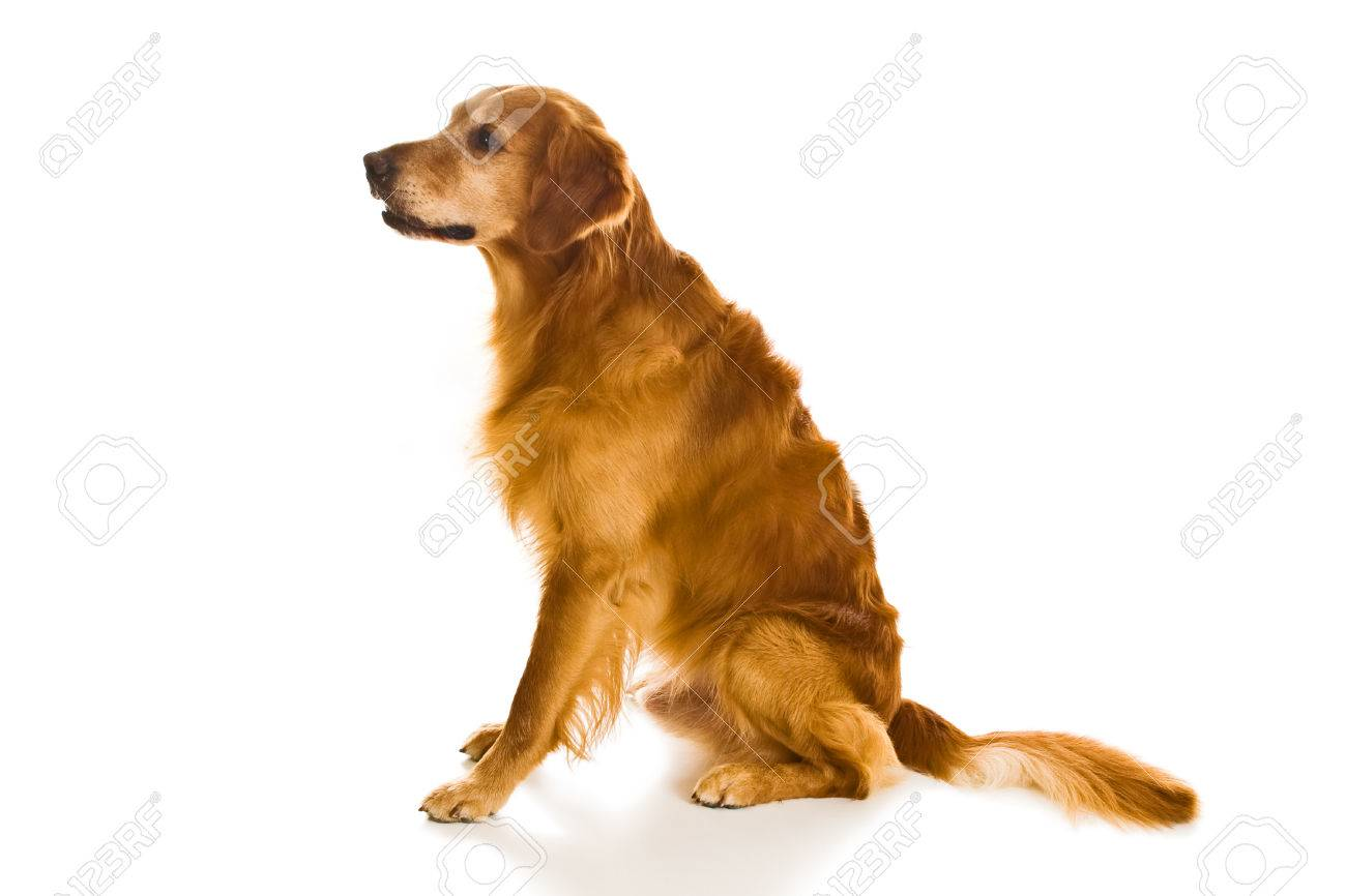 Beautiful Golden Retriever Dogs In A Variety Of Poses Stock Photo Picture And Royalty Free Image Image 1684031