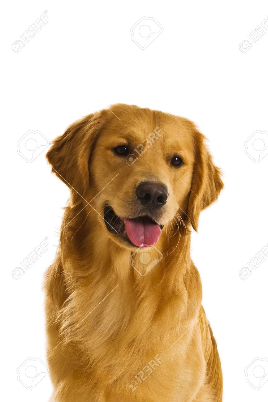 Beautiful Golden Retriever Dogs In A Variety Of Poses Stock Photo Picture And Royalty Free Image Image 1684036