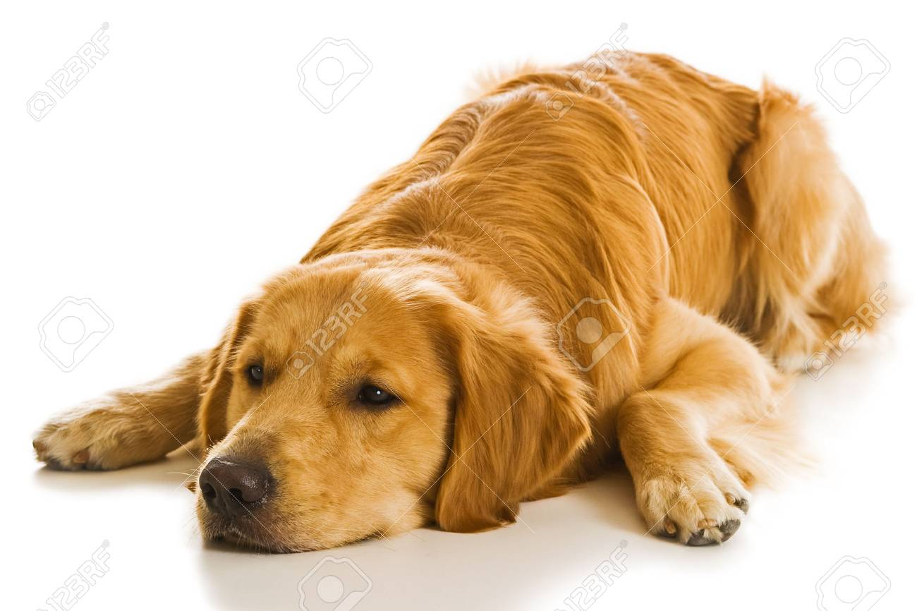 Beautiful Golden Retriever Dogs In A Variety Of Poses Stock Photo Picture And Royalty Free Image Image 1684040
