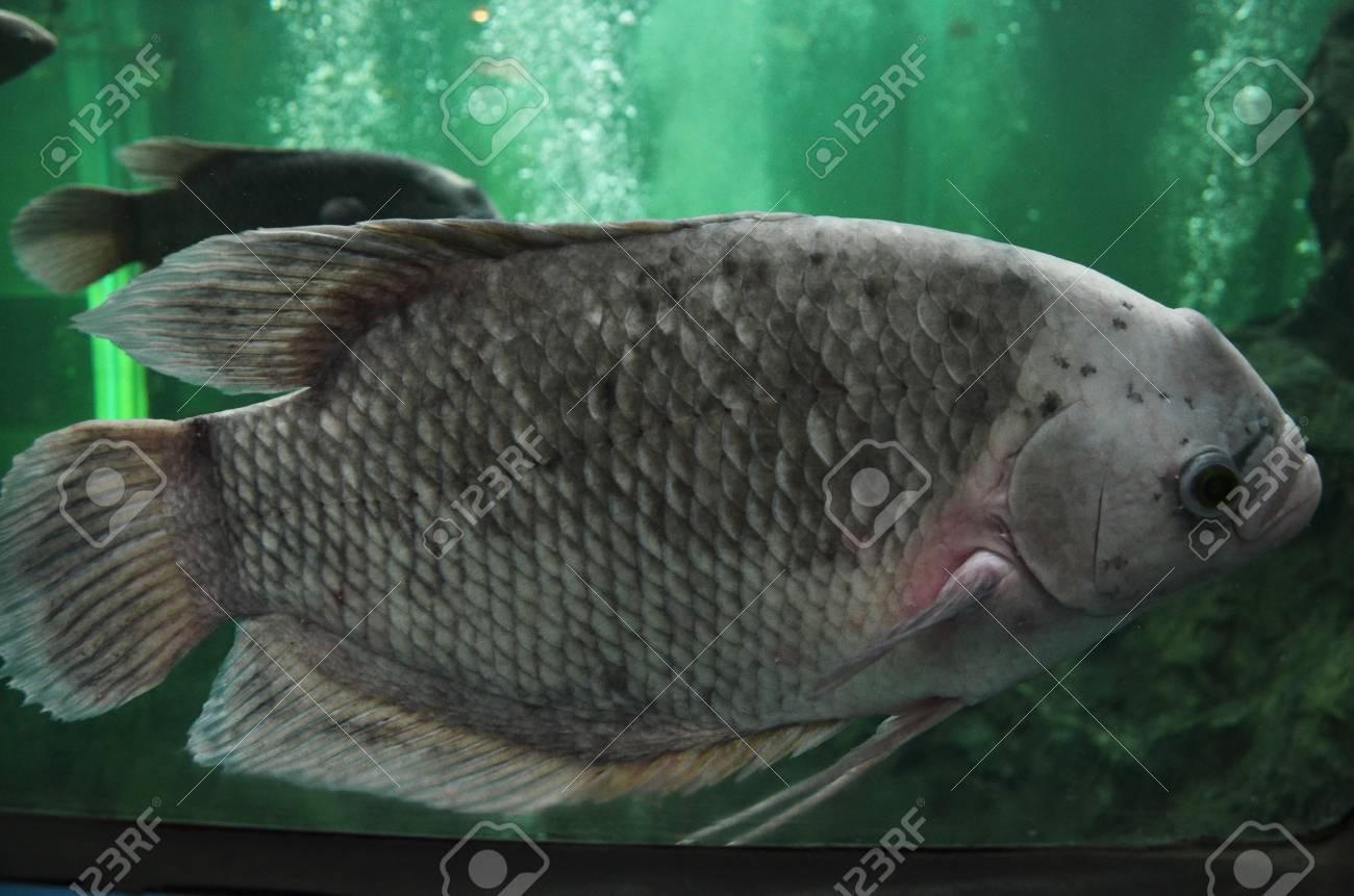 Freshwater fish in aquarium Stock Photo - 21732785