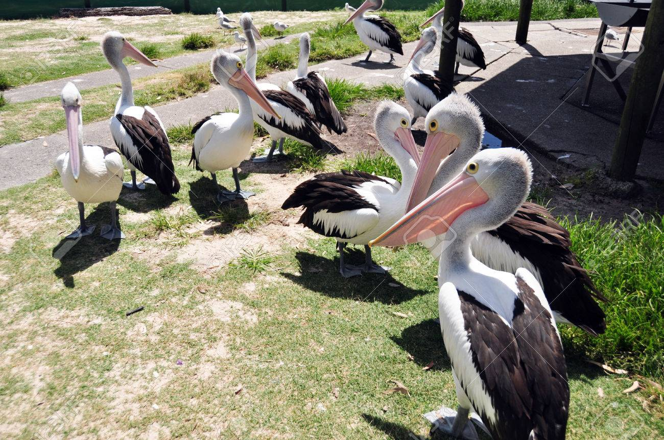 spot billed pelican australian are a genus of large water birds