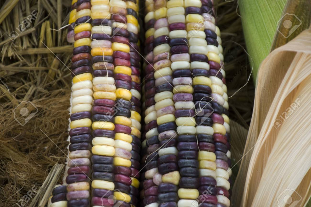 Glass Gem Corn Or Sweet Waxy Corn Hybrid From Agricultural Corn
