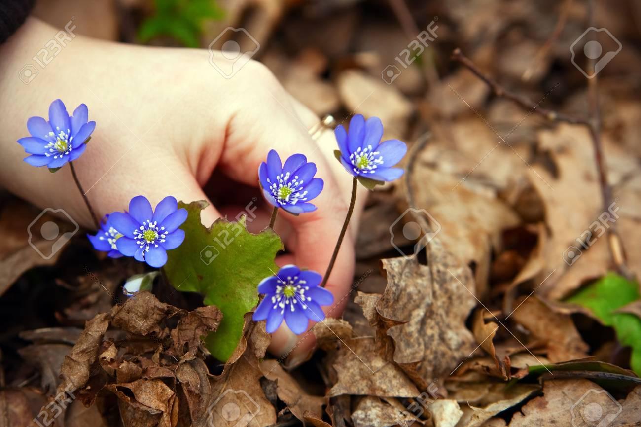 Les Saisons - Page 40 6953038-gros-plan-main-tenant-belles-petites-bleues-h-patiques-ils-cultivent-dans-une-for-t-au-printemps-Banque-d'images
