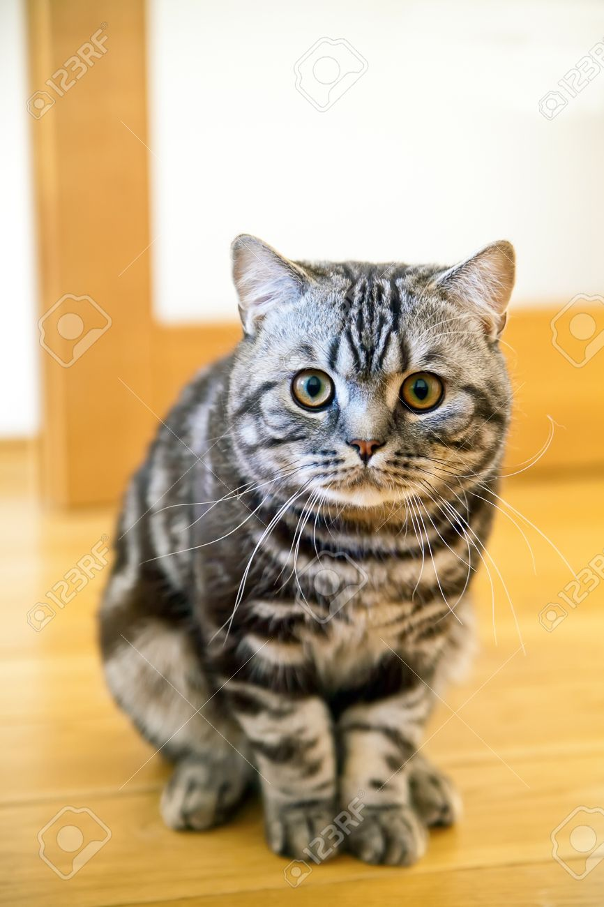 Close up Sitting British Shorthair Cat With The Classic Tabby