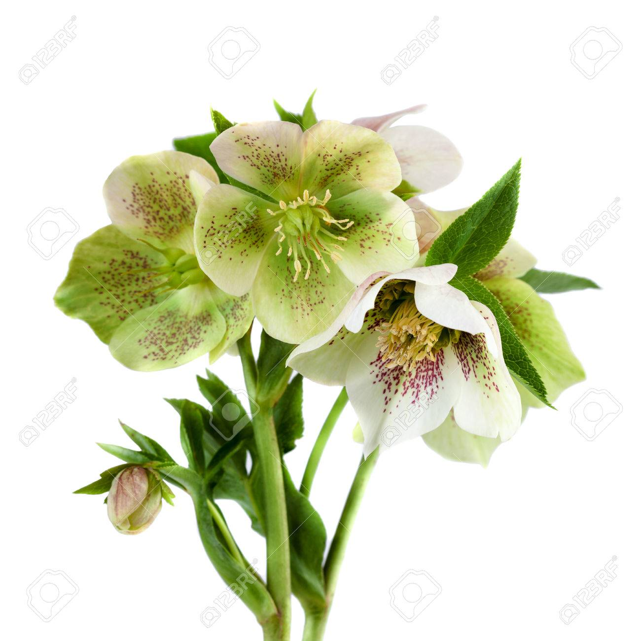 Lenten Rose Flower Closeup Hellebore Flowers With Leaves Isolated