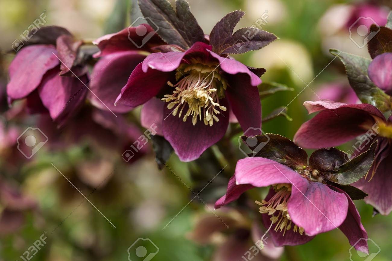 Lenten Rose Or Hellebore Flower Closeup Stock Photo Picture And