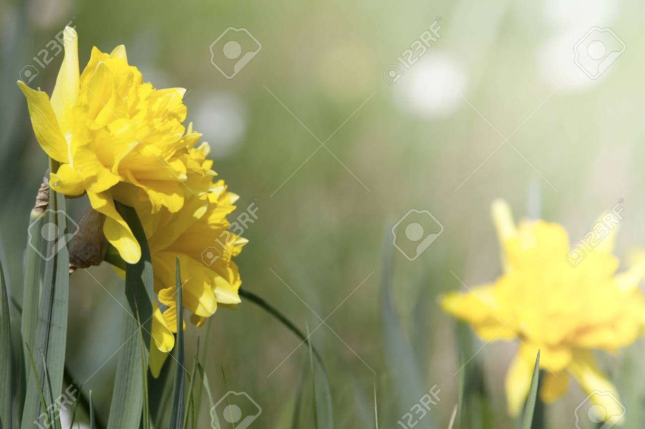 Daffodil Easter Flowers Background Stock Photo Picture And Royalty