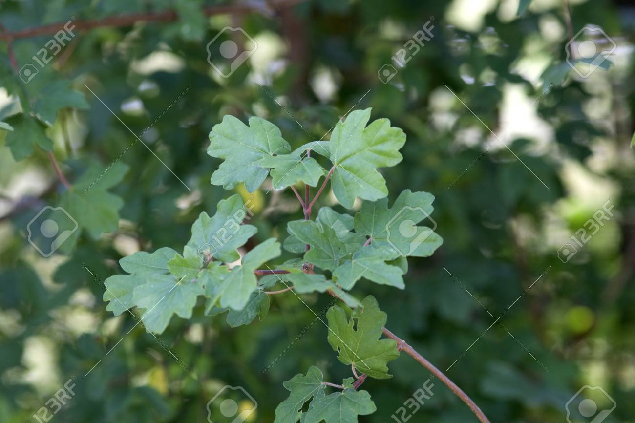 Field Maple Acer Campestre Stock Photo Picture And Royalty Free