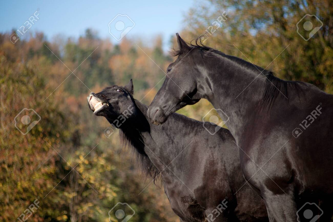 Two Horses Have Fun And Make Funny Faces Smiling Horse Make Stock Photo Picture And Royalty Free Image Image 135685276