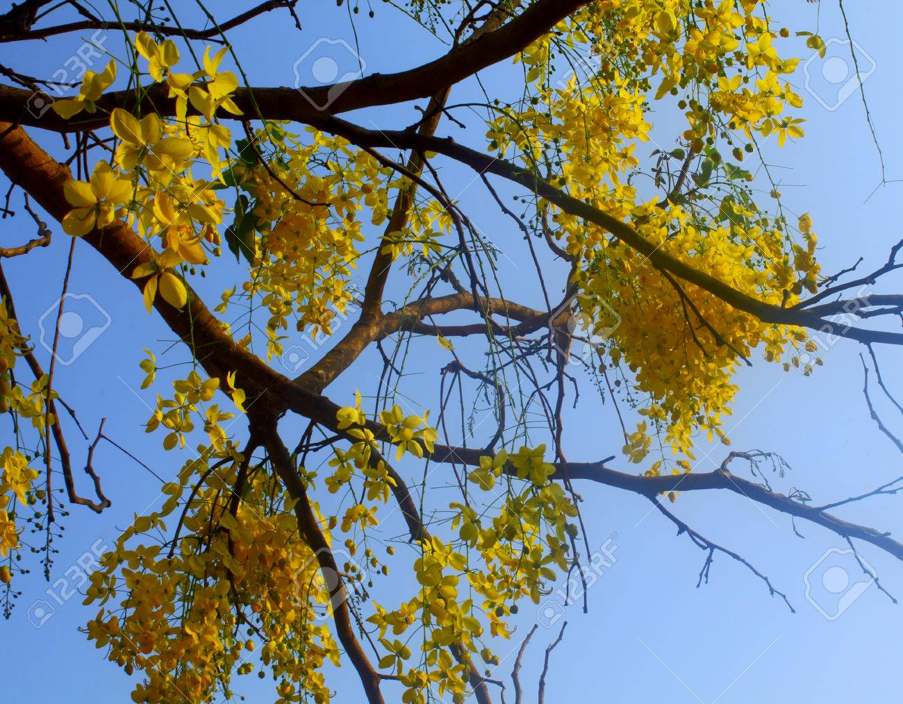 Tree with yellow flowers on blue sky background stock photo picture stock photo tree with yellow flowers on blue sky background mightylinksfo