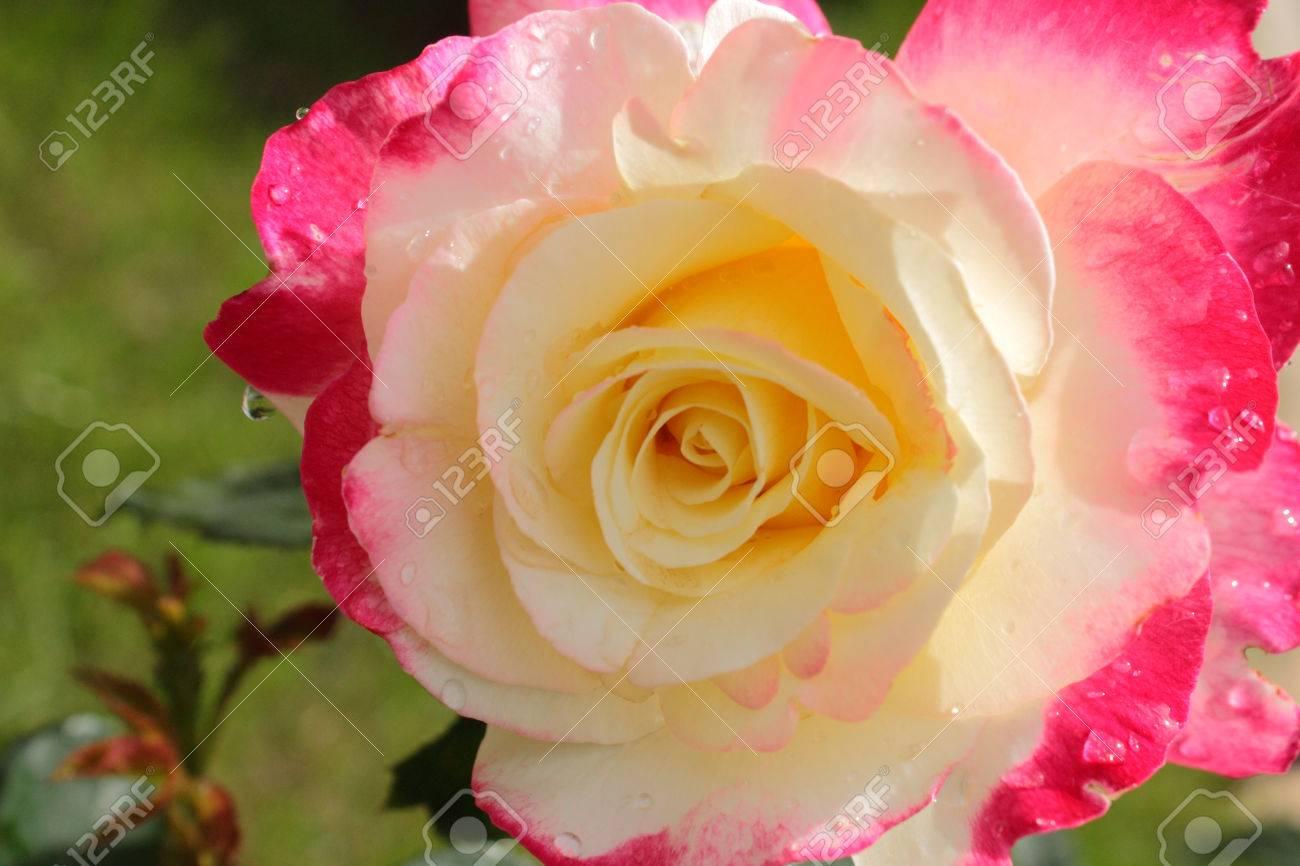 Tres Belle Fleur Rose Rose Et Jaune Banque D Images Et Photos Libres
