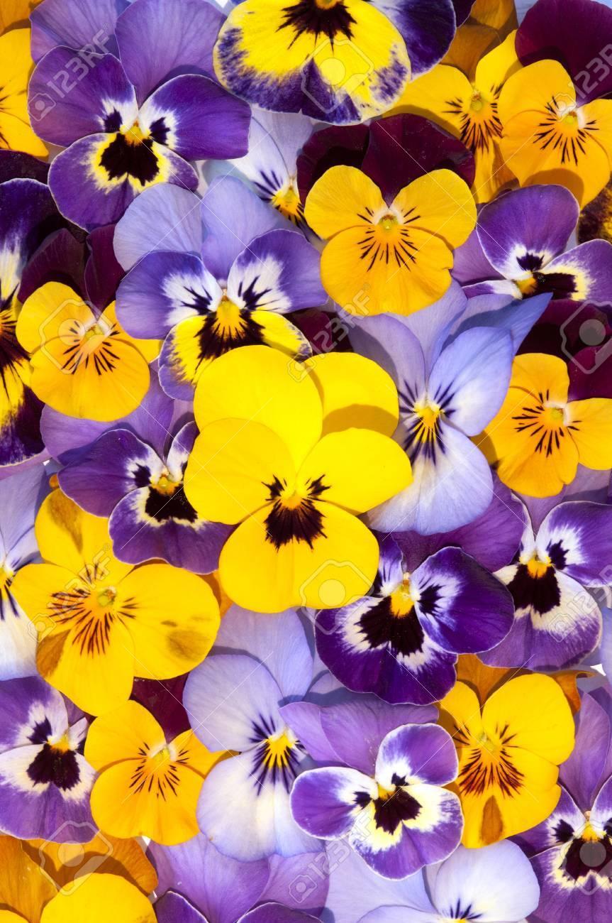 Mezcla de colores de las flores del pensamiento en el jardín de primavera